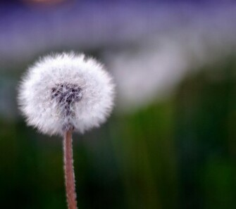 samsung galaxy s4 wallpapers spring dandelionjpg