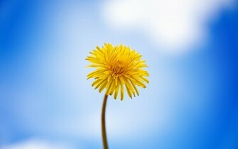 dandelion 2560x1600 wallpaper download page 1050676