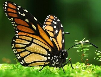 Monarch Butterfly Wallpaper Wallpaper HD