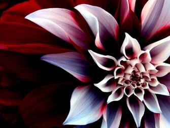 wallpaper zh flower wallpaper