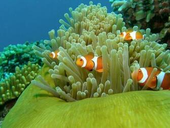 on October 8 2015 By Stephen Comments Off on Clown Fish Wallpapers