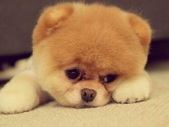 Chow Chow Puppies   The Dog Wallpaper   Best The Dog Wallpaper