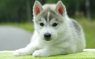 to Cute Puppy Wallpapers for Desktop Mobile Backgrounds Next Image