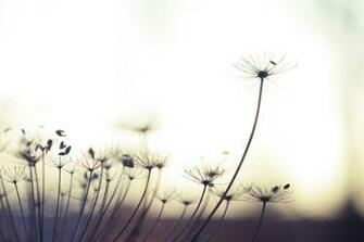 dandelion Archives   Album Art for Musicians Wallpapers Backgrounds