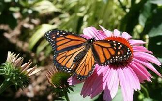 Monarch Butterfly 18 Wallpaper   Hivewallpapercom