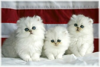 photos wallpapers beautiful white cute cat pictures photos wallpapers