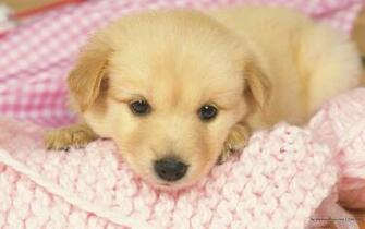 1440900 Lovely Puppy wallpapers Lovely Puppies Photos 1440x900 NO