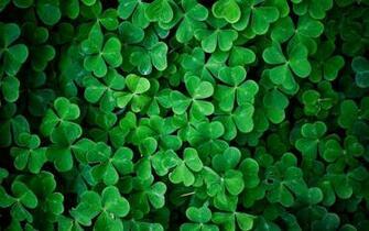 green leaves shamrock wallpaper background