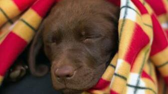 labradorcentercomwallpapers1920x1080chocolate lab puppy asleepjpg