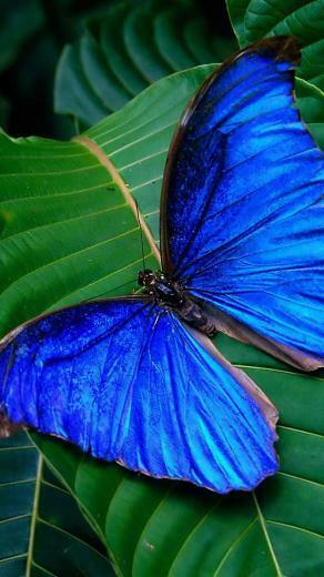 Blue Butterfly iPhone 5 HD Wallpapers BullGalleryCom iPhone5