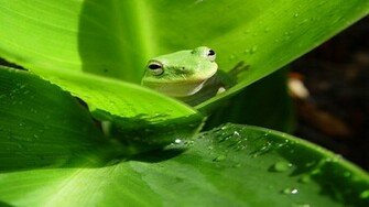 animal planet frogs green wallpaper high highres animals added