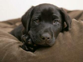 Little labrador   Puppies Wallpaper 14749010