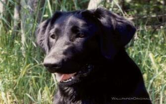 Black Lab Dog Pictures