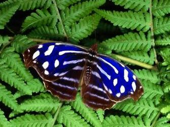 Blue and White Butterfly HD Wallpapers
