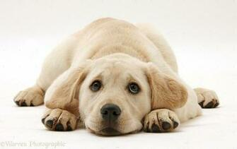 Related Pictures yellow labrador puppy hd wallpaper yellow labrador