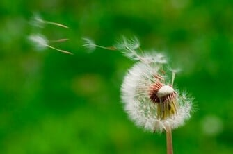 Blowing Dandelion Photography Top Pictures Gallery Online
