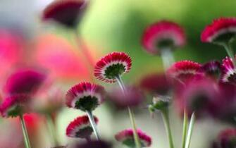 Red Flowers Wallpapers Full HD   Bhstormcom