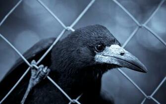 Raven Wallpaper Animals Wallpaper Background Photo