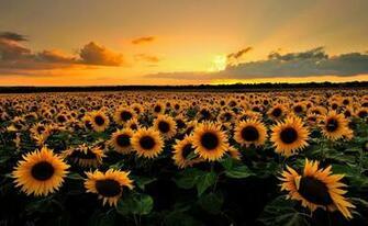 Sunflower Desktop Wallpapers   Top Sunflower Desktop