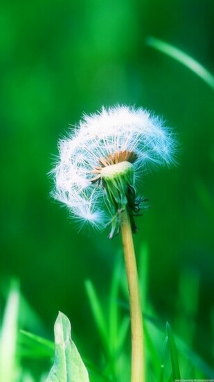 Dandelion Desktop 720x1280 Samsung Galaxy S3 Wallpaper HD Samsung