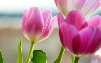wallpaper widescreen definition high tulip