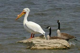 The Pelicans of Illinois Advocacy for Animals
