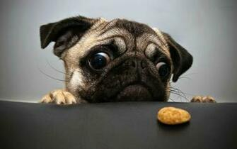 Pug Dog Wallpapers Pug Dog Pictures Download Cool Wallpapers