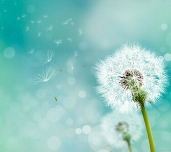 Dandelion backgrounds 2160x1920 Samsung Galaxy S4 Wallpaper HD Samsung