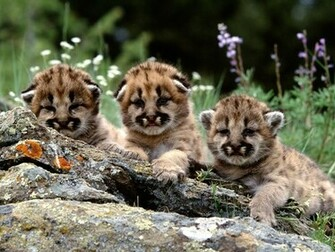 Cute Mountain Lion Cubs Wallpaper   Cute Downloads