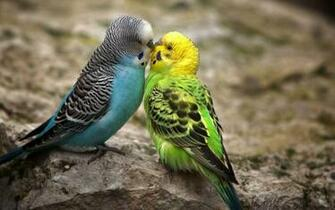 Tag Love Birds Desktop Wallpapers Backgrounds PhotosImages and