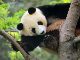panda bear wallpaper Wallpaper Art Models