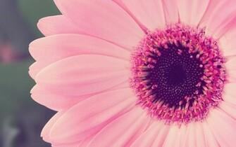 Close Up Nature Flowers Pink Flower Petals Fresh New Hd Wallpaper