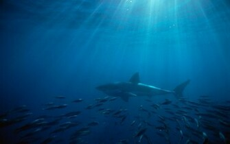 GREAT WHITE WALLPAPERS FREE Wallpapers Background images