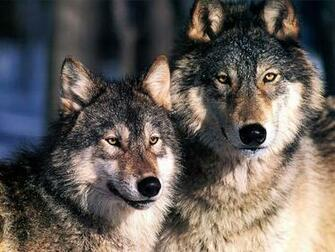 Wallpaper Blog gray wolf backgrounds