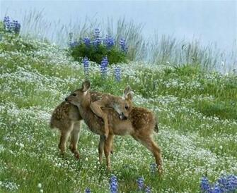 Deer wallpapers hd