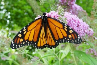 Picture of Monarch Butterfly   Wallpaper Pin it