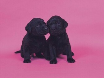 puppies 16001200 Two Black Labrador Puppies   Cute Labrador Puppy