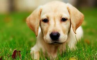 Download Modern Yellow Lab Puppy The Wallpapers 1920x1200 HD