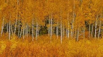 Autumn aspens in Grand Teton National Park Wyoming wallpaper by