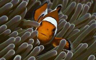 Beautiful Clown Fish and Anemone Pictures HD Wallpapers Animals