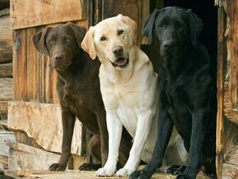 Dogs Labrador Wallpaper 1600x1200 Dogs Labrador Retriever