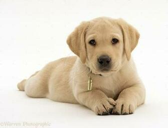 Yellow Labrador Retriever Puppy White Background   1311x1000 iWallHD