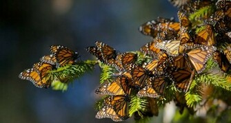 Bing Images   Monarch Butterflies   Monarch butterflies migrating to