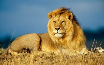 Masast Aslan Resimleri   HD Lion Wallpapers Wallpapers Rooteto