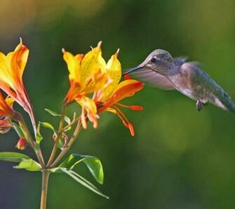 for flower lovers Flowers and humming birds desktop wallpapers