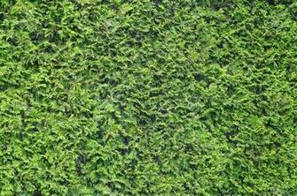 Texture Background Of The Green Leaves Of Arborvitae Vegetation
