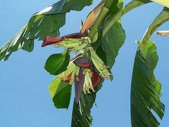 Banana Tree Wallpaper Flickr   Photo Sharing