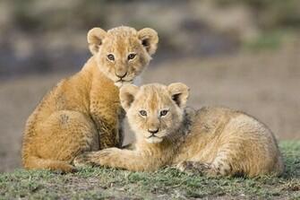 Lion Cubs Cute Lion Cubs Cute Lion Cubs
