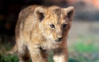 Cute lion cub   Lion cubs Wallpaper 36286253