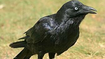 raven little corvus mellori bird hd widescreen wallpaper birds
